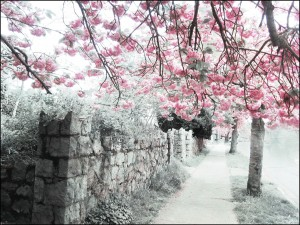 Cherry Blossoms By Nick Kenrick CC-BY-NC-SA